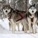 Chenil du chien-loup (2)